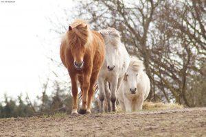 Heste følges ad